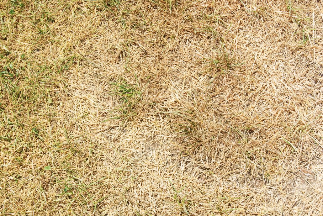 Why Is My Lawn Brown I Water I Fertilize Regularly