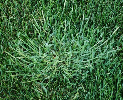 Common weed crabgrass growing in a perfect lawn